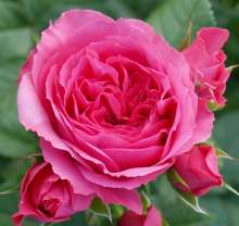 Image of   Rose Cerise Flower Circus - Rosa x Cerise Flower Circus ®