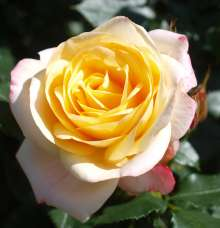 Image of   Rose Corinna Flower Circus - Rosa x Corinna Flower Circus ®