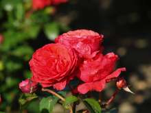 Rose Florence Flower Circus - Rosa x Florence Flower Circus  ®