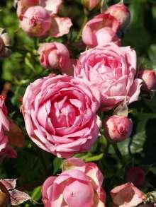 Image of   Rose Jasmina Flower Circus - Rosa x Jasmina Flower Circus ®
