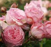 Image of   Rose Larissa Flower Circus - Rosa x Larissa Flower Circus ®
