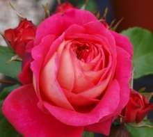 Image of   Rose Salmon Flower Circus - Rosa x Salmon Flower Circus ®