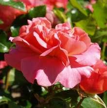 Image of   Rose Sylvia Flower Circus - Rosa x Sylvia Flower Circus ®