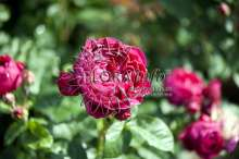 Image of   Storblomstrende rose Ascot - Rosa X Ascot