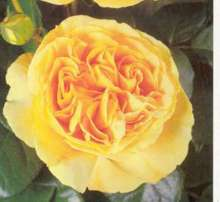 Image of   Storblomstrende rose Candlelight - Rosa X Candlelight