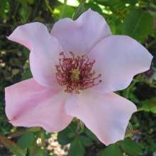 Image of   Storblomstrende rose Dainty Bess - Rosa X Dainty Bess
