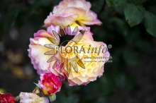 Image of   Storblomstrende rose Gorgeous - Rosa X Gorgeous