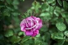 Image of   Storblomstrende rose Lila Wunder - Rosa X Lila Wunder