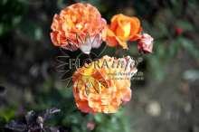 Image of   Storblomstrende rose Tea Time - Rosa X Tea Time