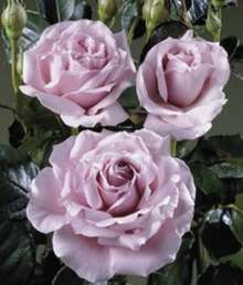 Image of   Storblomstrende rose The Scotsman - Rosa X The Scotsman