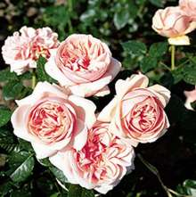 Image of   Storblomstrende rose Aphrodite - Rosa X Aphrodite