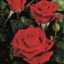 Image of   Storblomstrende rose Black Magic - Rosa X Black Magic