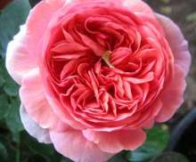 Image of   Storblomstrende rose Chippendale - Rosa X Chippendale