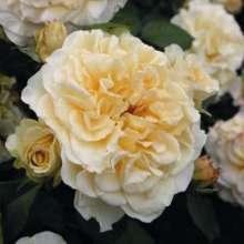 Image of   Storblomstrende rose Comtessa - Rosa X Comtessa