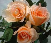Image of   Storblomstrende rose Clodagh McGredy - Rosa X Clodagh McGredy