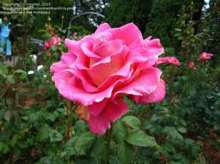 Image of   Storblomstrende rose Gentle Giant - Rosa X Gentle Giant