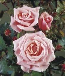 Image of   Storblomstrende rose Glamour - Rosa X Glamour