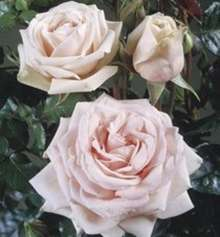 Image of   Storblomstrende rose Majestic - Rosa X Majestic