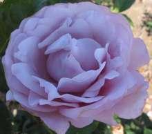 Image of   Storblomstrende rose Oiseau Bleu - Rosa X Oiseau Bleu