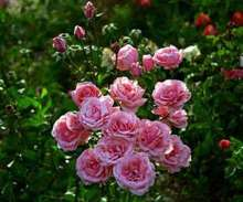 Image of   Storblomstrende rose Piroschka - Rosa X Piroschka