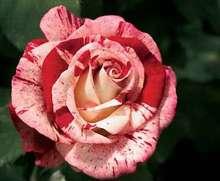 Image of   Storblomstrende rose Rock n Roll - Rosa X Rock n Roll