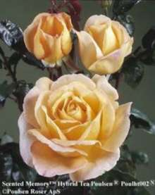 Image of   Storblomstrende rose Scented Memory - Rosa X Scented Memory