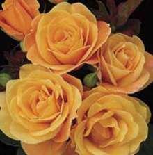 Image of   Storblomstrende rose Strike it Rich - Rosa X Strike it Rich