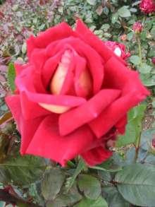 Image of   Storblomstrende rose Vintage Vine - Rosa X Vintage Vine