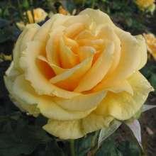 Image of   Storblomstrende rose Wonderful - Rosa X Wonderful