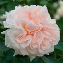 Image of   Rose Cream Flower Circus - Rosa x Cream Flower Circus ®