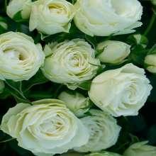 Image of   Rose Escimo Flower Circus - Rosa x Escimo Flower Circus ®