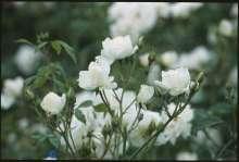 Buketrose Schneewittchen ® - Rosa x Schneewittchen ®
