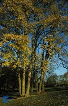 Image of   Ahorn - Ær - Acer pseudoplatanus