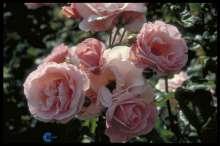 Image of   Storblomstrende Rose Queen Elizabeth - Rosa x Queen Elizabeth