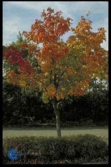 Spidsløn - Acer platanoides