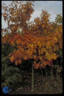 Rødeg - Quercus rubra