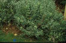 Image of   Krybende Benved Emerald Gaiety - Euonymus fortunei Emerald...