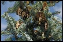 Billede af Sitkagran - Picea sitchensis