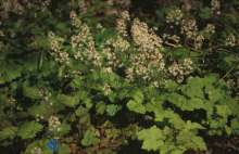 Skumblomst - Tiarella cordifolia
