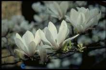 Tulipantræ - Magnolia x soulangiana