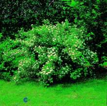 Blærespiræa Pyso - Physocarpus malvaceus Pyso