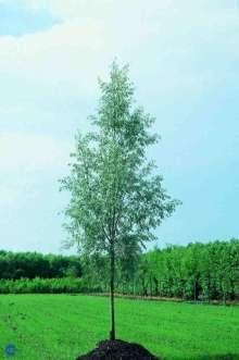 Hus og Have > Have > Alletræer > Piletræer > Sølvpil Saba priser, Sølvpil Saba – Salix alba Saba