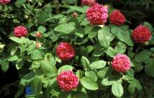 Image of   Gammeldags Rose Rose de Rescht - Rosa damascena Rose de...