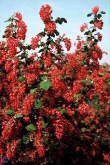 Blodribs Pulborough Scarlet - Ribes sanguineum Pulborough...