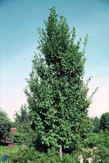 Pyramideavnbøg - Carpinus betulus 'Frans Fontaine'