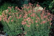 Mørk rosa højde 10 cm blomstringsmåned 5 6 antal pr m2 16