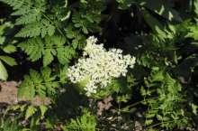 Billede af Spansk Kørvel - Myrrhis odorata