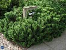 Dværgfyr - Pinus mugo var. Pumilio