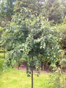 Kugleformet hjertetræ - Cercidiphyllum jap. Krukenberg Dwarf