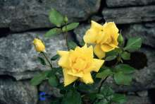 Image of   Storblomstrende Rose Landora - Rosa x Landora